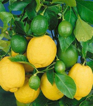 Ganz und zu Extrem Zitronenbaum Pflege #QS_67